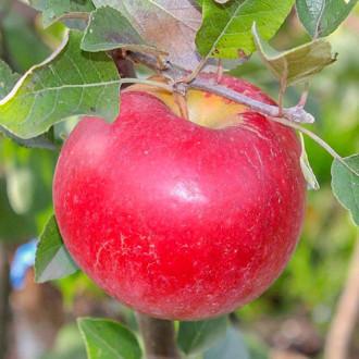 Яблоня Карамельная рисунок 7