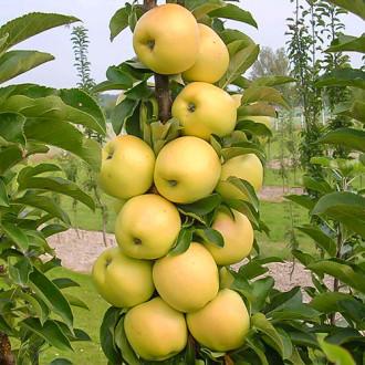 Яблоня колоновидная Болеро рисунок 4