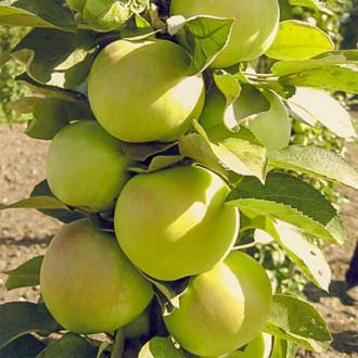 Яблуня колоновидна Ідеал зображення 2