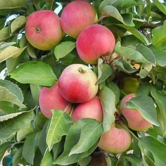 Яблуня колоновидна Кумир зображення 1