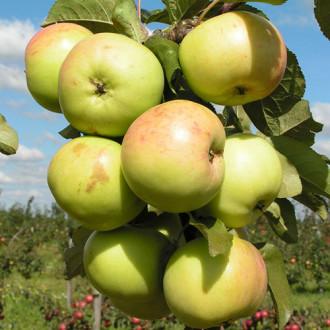 Яблуня колоновидна Малюха зображення 4