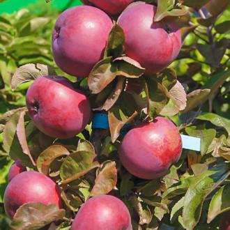 Яблуня колоновидна Сузір'я зображення 8