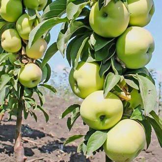 Яблуня колоновидна Зелений шум зображення 7