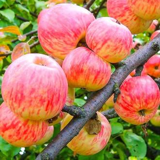 Яблоня Коричное полосатое рисунок 4