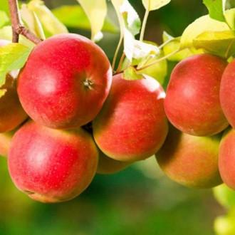 Яблуня Пінк Леді зображення 6
