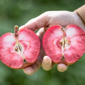Яблуня Пінк Перпл зображення 5