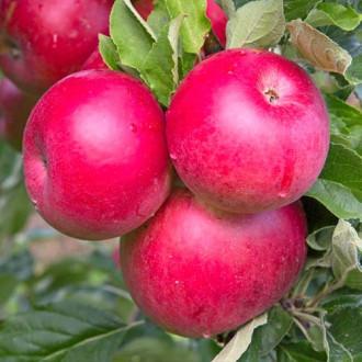 Яблуня Ремо зображення 5