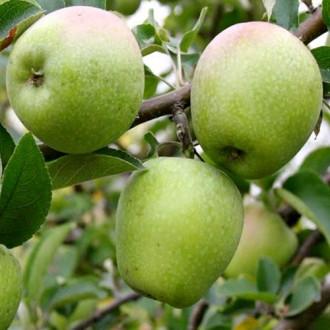 Яблуня Розмарин зображення 8