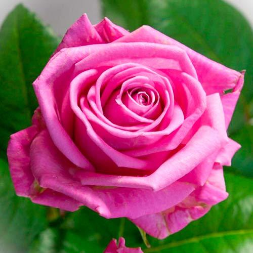 Роза чайно-гибридная Аква рисунок 1 артикул 3719
