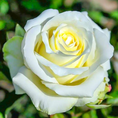 Роза чайно-гибридная Анастасия рисунок 1 артикул 3720
