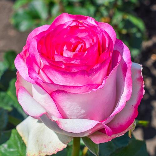 Роза чайно-гибридная Белла Вита рисунок 1 артикул 3721