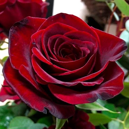 Роза чайно-гибридная Блэк Мэджик рисунок 1 артикул 3723
