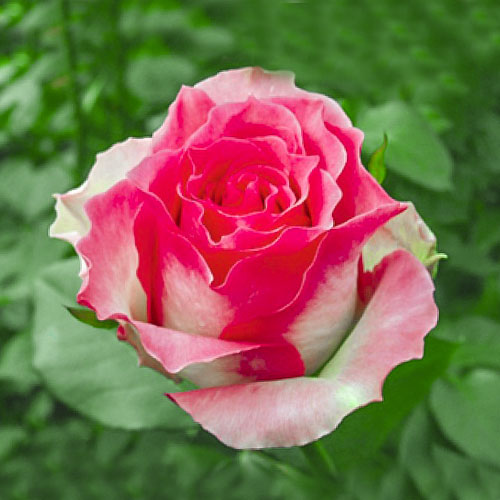 Троянда чайно-гібридна Малібу зображення 1 артикул 3736
