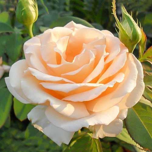 Роза чайно-гибридная Примадонна рисунок 1 артикул 3732