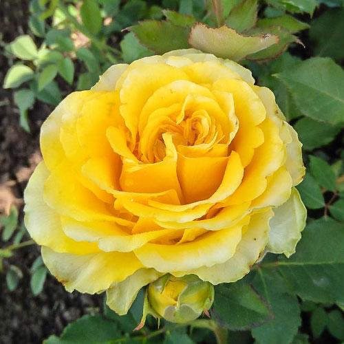 Троянда чайно-гібридна Сфінкс зображення 1 артикул 3734