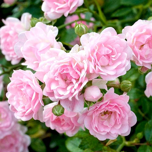 Роза флорибунда Боттичелли рисунок 1 артикул 3528