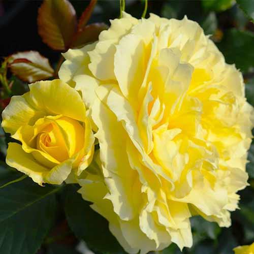 Роза флорибунда Чайна Герл рисунок 1 артикул 3536