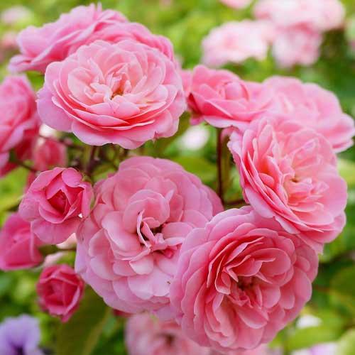 Троянда флорібунда Том Том зображення 1 артикул 3535