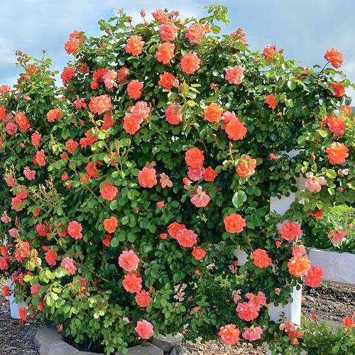 Роза плетистая Оранж Лемон рисунок 1 артикул 3707