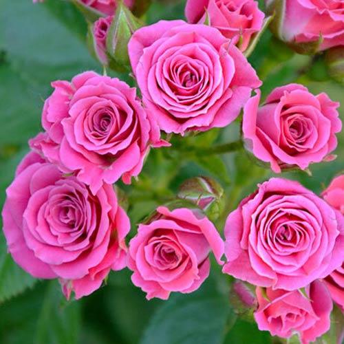 Роза спрей Лавли Лидия рисунок 1 артикул 3538