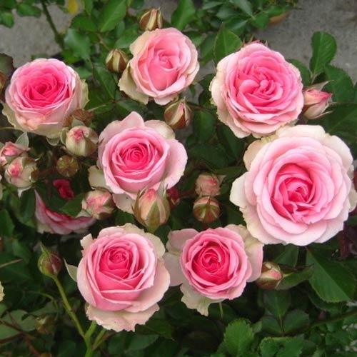 Троянда спрей Мімі Еден зображення 1 артикул 3539