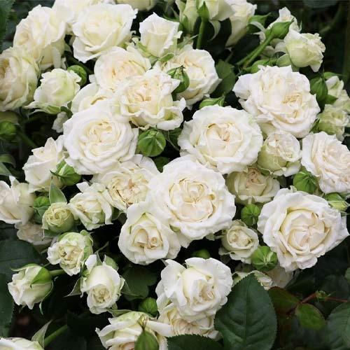 Роза спрей Вайт Лидия рисунок 1 артикул 3537
