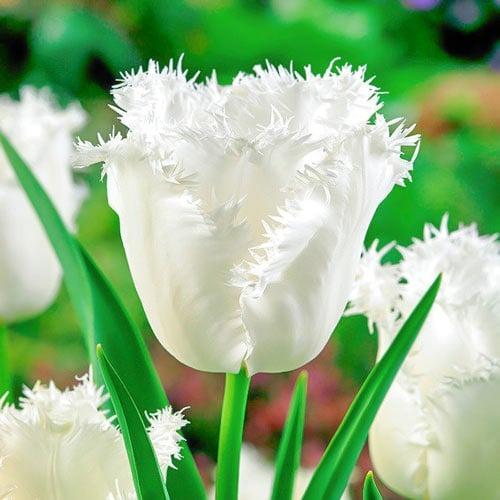 Тюльпан бахромчатый Ханимун рисунок 1 артикул 68078
