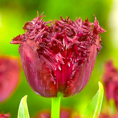 Тюльпан бахромчатый Лабрадор рисунок 1 артикул 68028