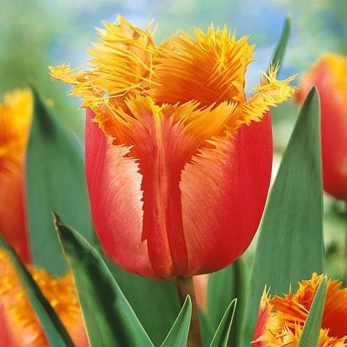 Тюльпан бахромчатый Ламбада рисунок 1 артикул 68105