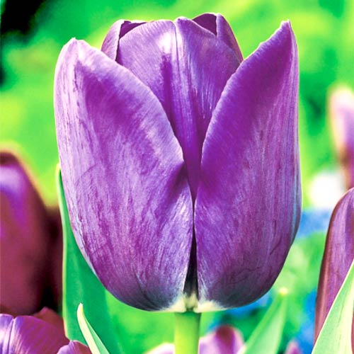 Тюльпан Тріумф Блю Емейбл зображення 1 артикул 67705