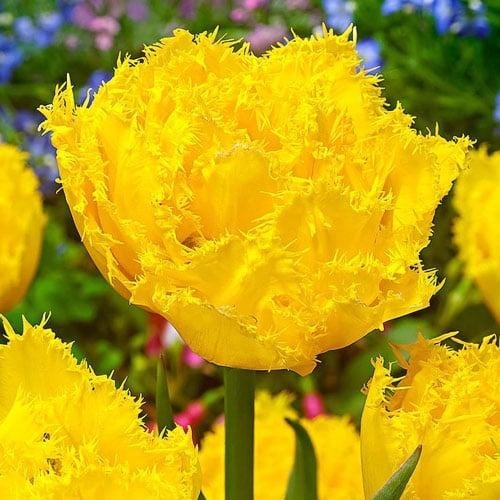 Тюльпан бахромчастий Екзотік Сан зображення 1 артикул 67698