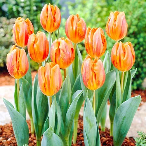 Тюльпан Ермітаж зображення 1 артикул 67868