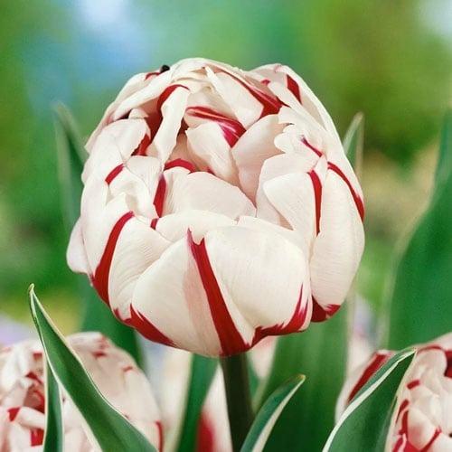Тюльпан махровий Карнавал де Найс