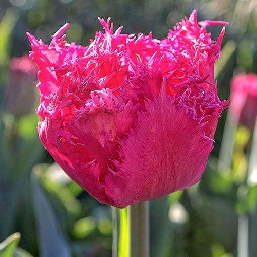 Тюльпан бахромчастий Кінгстон зображення 1 артикул 67696