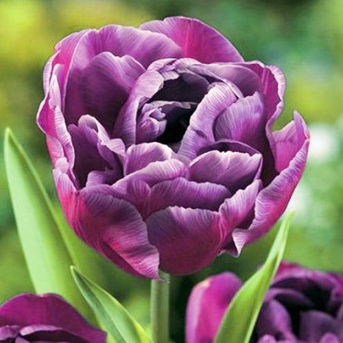 Тюльпан махровий Блю Даймонд зображення 1 артикул 67769