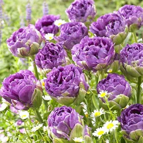 Тюльпан махровий Блю Вау зображення 1 артикул 67701