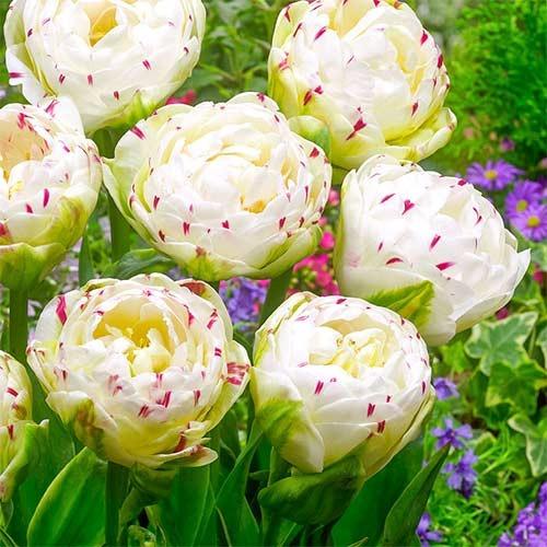 Тюльпан махровий Денс Лайн зображення 1 артикул 67457