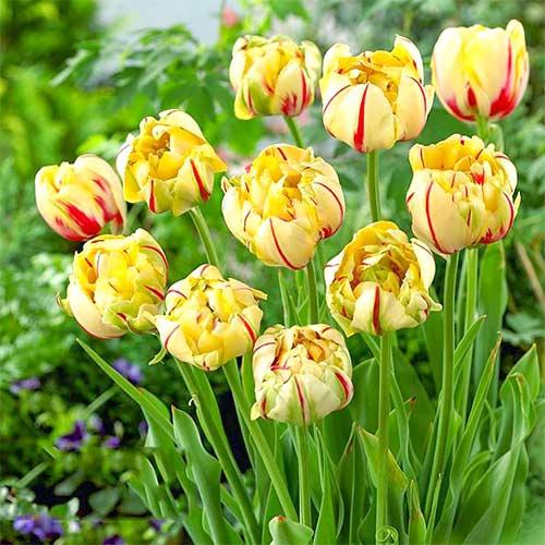Тюльпан махровий Гламур Юнік зображення 1 артикул 67714