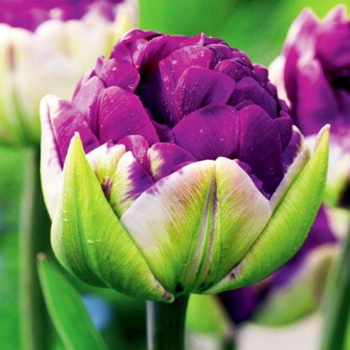 Тюльпан махровий Дабл Негріта зображення 1 артикул 67779