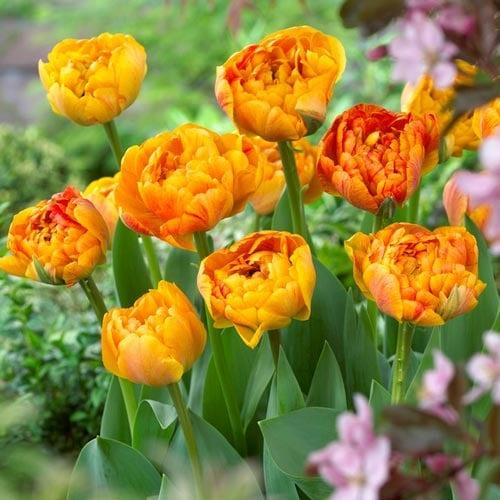 Тюльпан махровый Санловер рисунок 1 артикул 68042