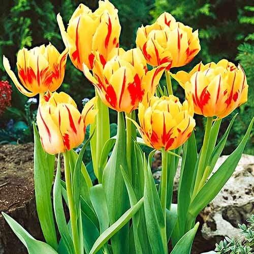 Тюльпан багатоквітковий Колор Спектакль зображення 1 артикул 67724