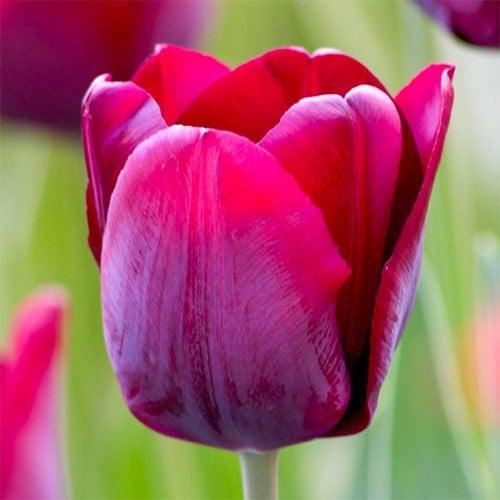 Тюльпан Тріумф Пассіо Глоссі зображення 1 артикул 67786