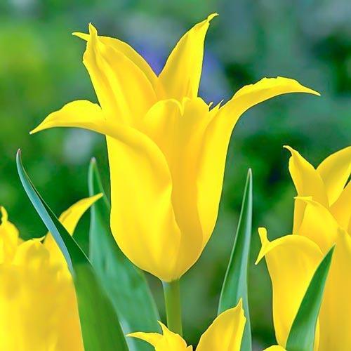 Тюльпан зеленоцветный Дансинг Шоу рисунок 1 артикул 67513