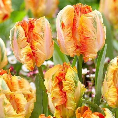 Тюльпан папуговий Перрот Кінг зображення 1 артикул 67801
