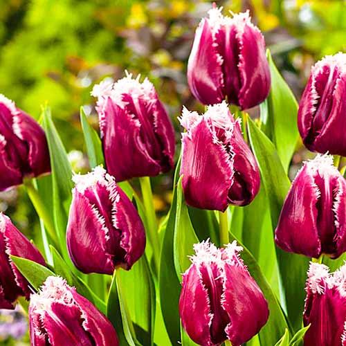 Тюльпан бахромчастий Сан Пабло зображення 1 артикул 67826