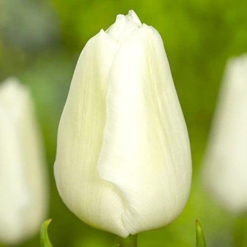Тюльпан Вайт Принц зображення 1 артикул 67709