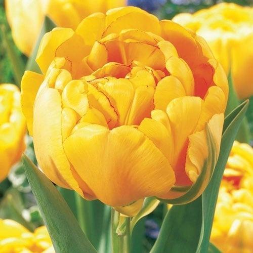 Тюльпан махровий Єллоу Помпонетт зображення 1 артикул 67733