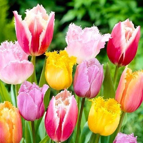 Тюльпани бахромчасті, мікс зображення 1 артикул 67858