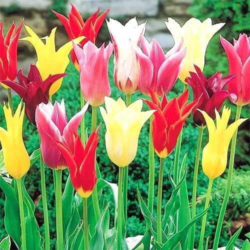 Тюльпани лілієвидні, мікс зображення 1 артикул 67761