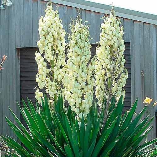 Юка садова Філаментоза зображення 1 артикул 76366